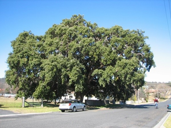 Cork oak at Tenterfield, northern NSW, planted 1861
